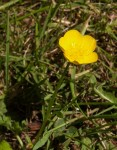 Meadow buttercup Ranunculus acris