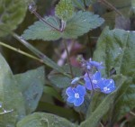 Veronica chamaedrys   Germander Speedwell